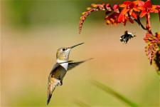 chimruoi-hummingbird-
